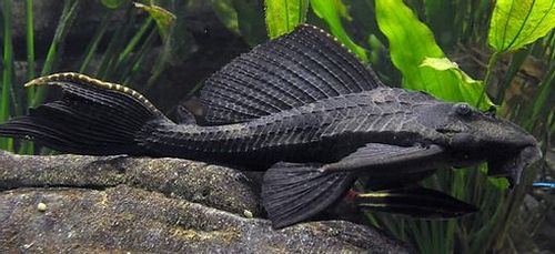 Apakah Cod Ikan yang Baik untuk Dimakan? ikan kod sendiri